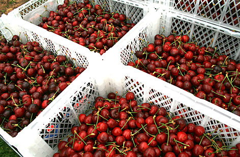 Cherries picked and ready to go to the supermarket 3