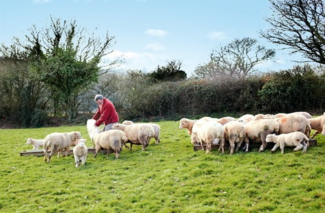 Lamb farming in Devon for Tesco
