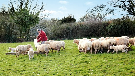 Lamb farming in Devon